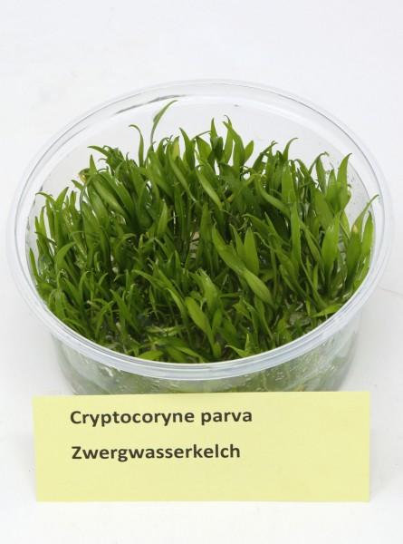 Cryptocoryne parva - Zwergwasserkelch Invitrodose