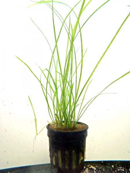 Vallisneria gracilis - Schmalblättrige Zwergvallisnerie