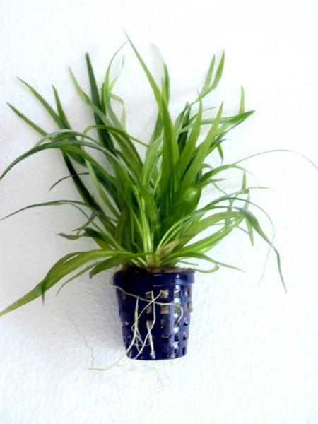 Helanthium bolivianum - früher Echinodorus bolivianus