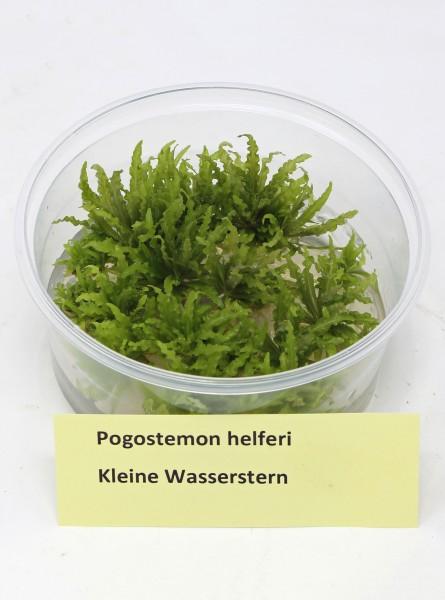 Pogostemon helferi - Kleine Sternpflanze aus In Vitro Vermehrung