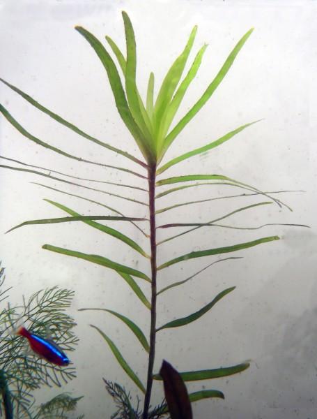 Eichhornia azurea - auzurblaue Wasserhyazinthe