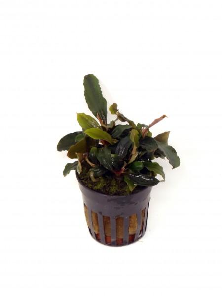 Bucephelandra Theia rot