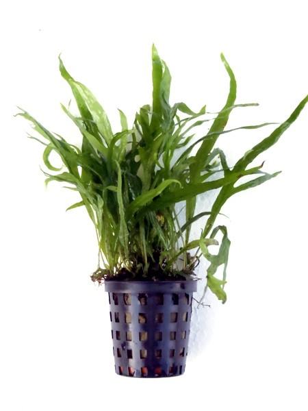 "Microsorum Pteropus ""Trident"" als submerse Pflanze"