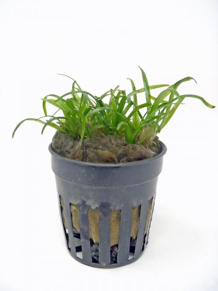 """Sagittaria subulata """"Pusilla"""" - Zwergpfeilkraut"""