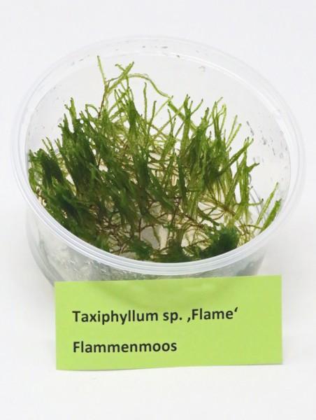 "Taxiphyllum sp. ""Flame"" - Flammenmoos"