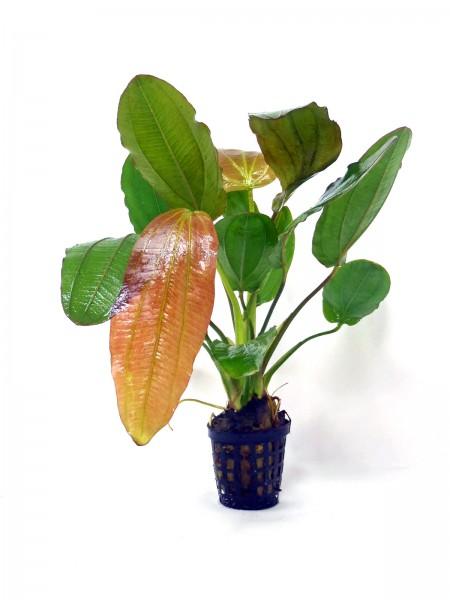 Echinodorus osiris - Rötliche Amazonasschwertpflanze