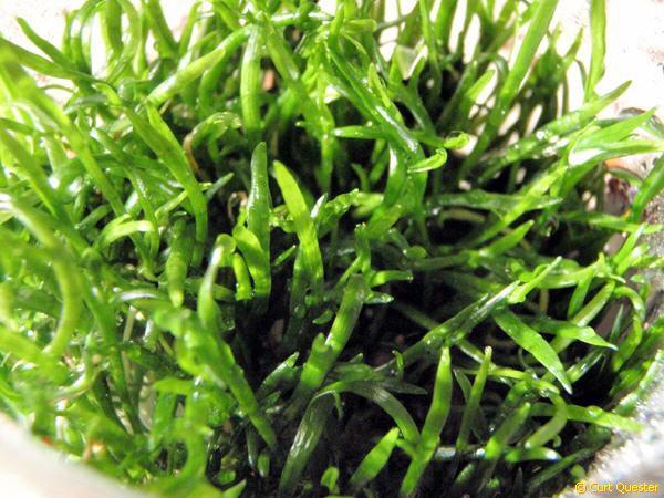 Lilaeopsis brasiliensis (novae-zelandiae)- brasilianisches (Neuseeland-) Gras, - Vordergrundpflanze