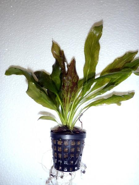 Echinodorus 'Green Flame'