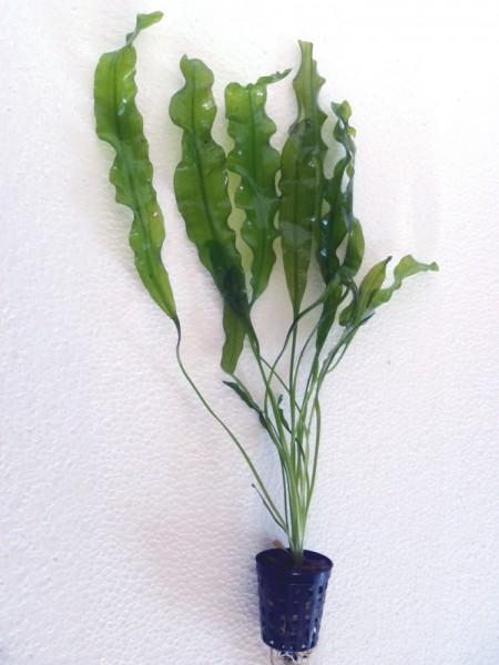 Aponogeton undulatus