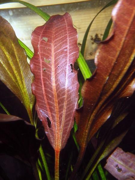 Echinodorus 'Roter Oktober' submers kultiviert