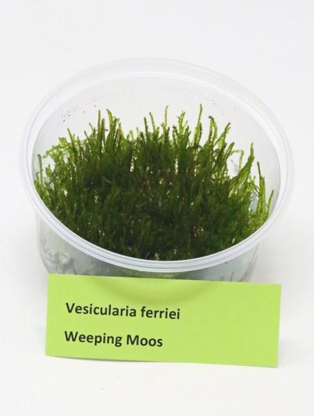 Vesicularia ferriei - Weeping Moos/Trauerweidenmoos - Dose aus Invitrovermehrung