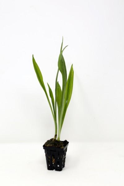 Crinum thaianum - Jungpflanze die noch lanzettliche Blätter hat