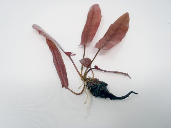 Barclaya longifolia rot