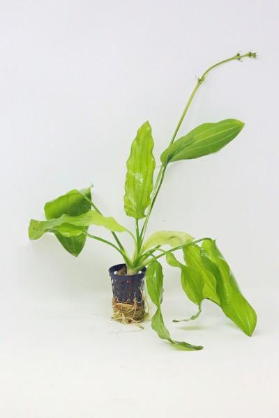 Echinodorus Tricolor - Dreifarbige Schwertpflanze