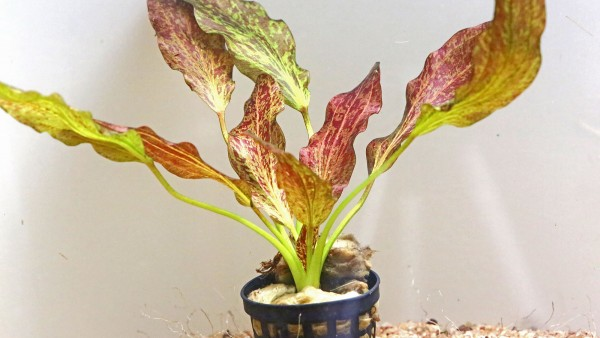 Echinodorus 'Rainers Kitty' als submers gewachsene Pflanze
