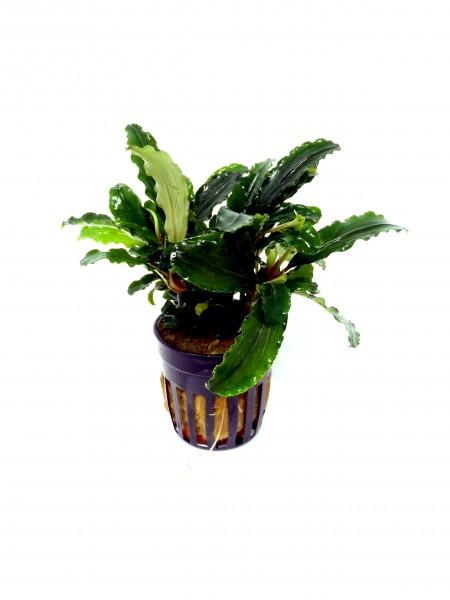 Bucephelandra Theia gruen