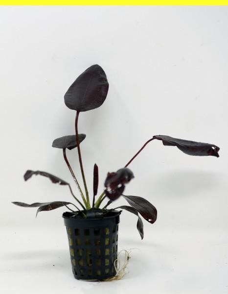 Echinodorus 'Aflme' - Tiefrote Schwertpflanzenhybride