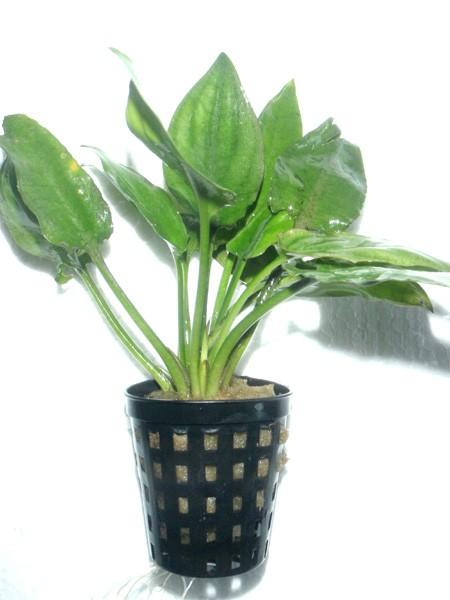 Cryptocoryne pontederifolia im Topf