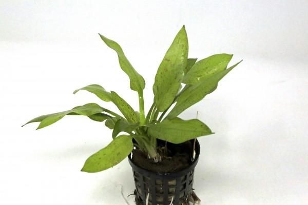 """Echinodorus maculatus - Gefleckte Schwertpflanze - Echinodorus """"Schlueteri"""""""