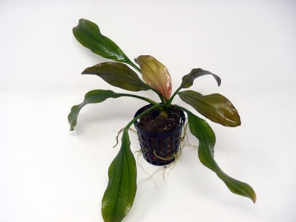 Echinodorus 'Apart' - steifblättrige Schwertpflanzenhybride