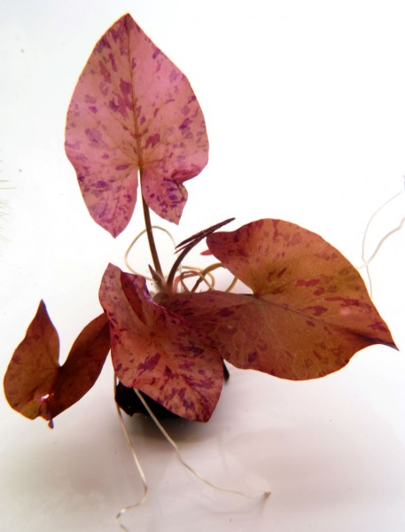 Nymphaea lotus Rot
