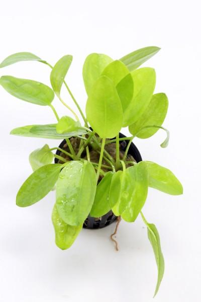 """Echinodorus cordifolius 'Mini / Echinodorus """"Aschersonianus"""""""