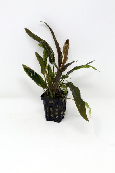 Cryptocoryne usteriana, Jungpflanzen im Topf