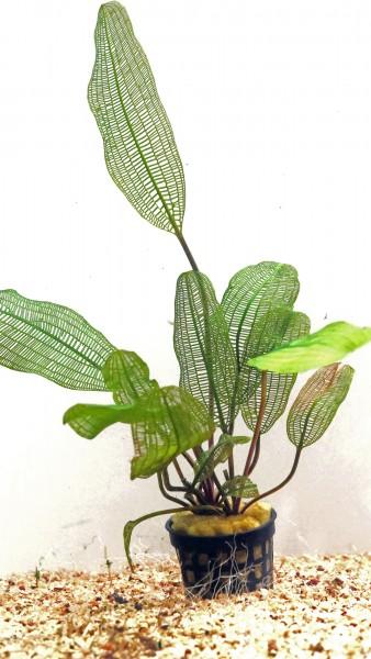 Aponogeton madagascariensis var henkelianus