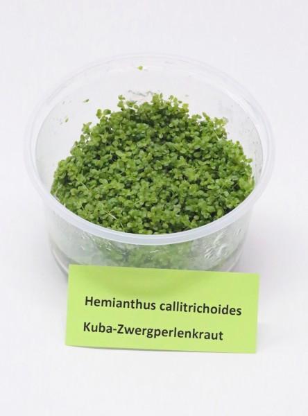 Hemianthus callitrichoides 'Cuba' - Kubanisches Zwergperlenkraut aus in Vitro-Vermehrung