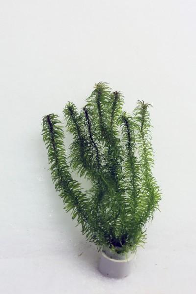 Hydrilla verticillata - Grundnessel