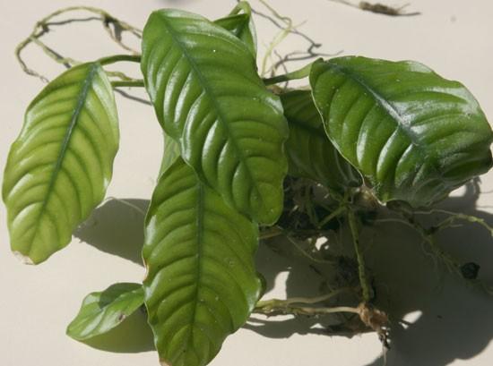 Anubias barteri var. coffeifolia - Kaffeeblättriges Speerblatt
