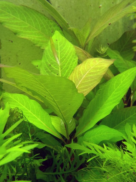 Hygrophila corymbosa - Breites Kirschblatt