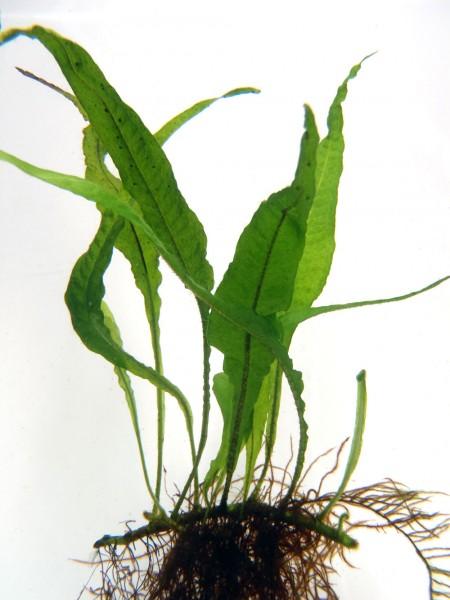 Microsorum pteropus - Javafarn Normalform - submers gewachsen
