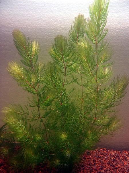 Ceratophyllum demersum - Hornblatt
