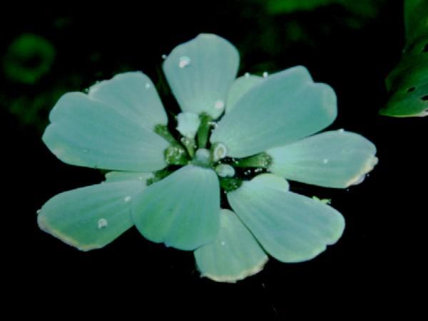 Pistia stratiodes / Muschelblume - Schwimmpflanze