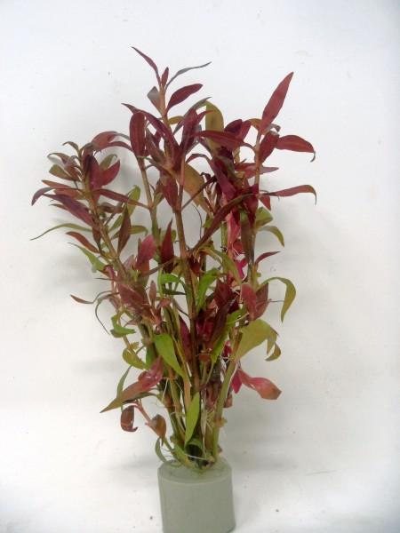Alternanthera reineckii 'Rosaefolia'