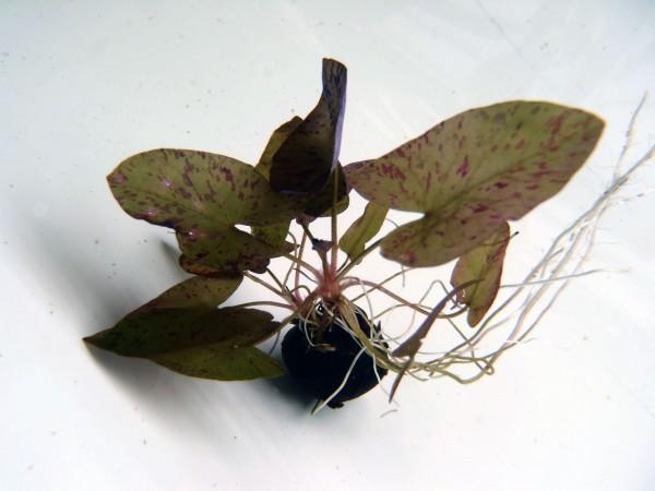 Nymphaea lotus Grün