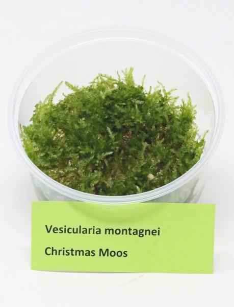 Vesicularia montagnei - Christmas Moos - Dose mit Aquariummoss aus Invitrovermehrung