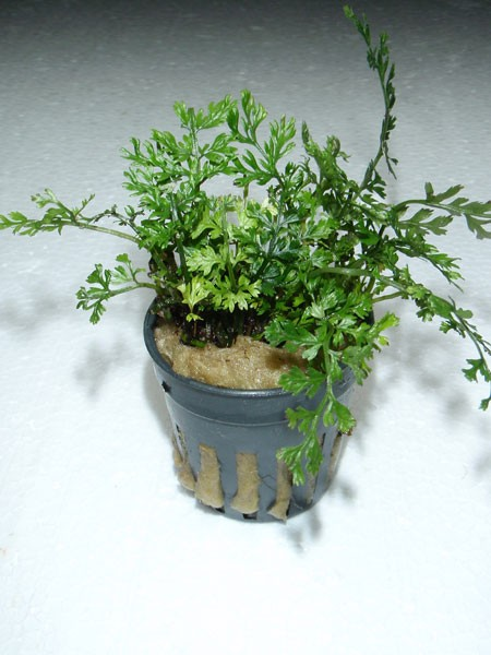 "Bolbitis heteroclita ""difformis"" Jungpflanze im Topf"
