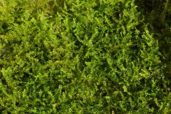 Vesicularia ferriei, Weepingmoos, In Vitro, Aquariummoos